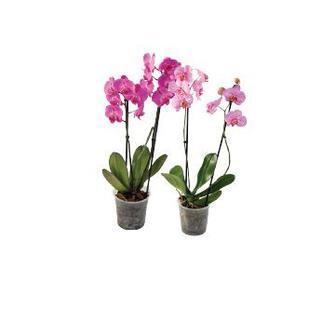 Орхідея мікс 2 ст